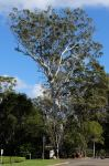 Gum - Forest Red : Eucalyptus tereticornis