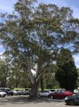 Ash - Blue Mountains : Eucalyptus oreades