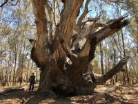 Gum - River Red 'Gnarly Tree' : Eucalyptus camaldulensis