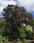 Tree Warratah : Alloxylon flammeum