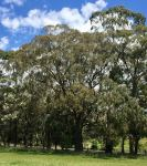 Peppermint - Broad-leaved : Eucalyptus dives