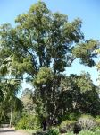 Crows Ash : Flindersia australis