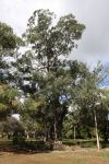 Box - Grey : Eucalyptus microcarpa