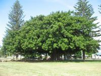 Rubber Tree : Ficus robusta