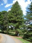 Pine - Himalayan Long-leaved : Pinus roxburghii