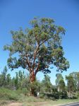 Apple - Smooth-barked : Angophora leiocarpa