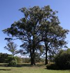 Box - White-topped : Eucalyptus quadrangulata