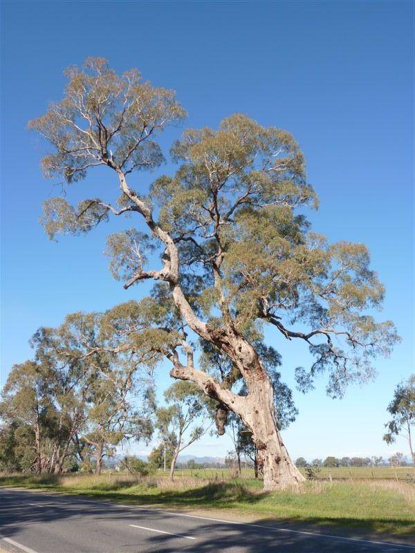 tree register national register of big trees. Black Bedroom Furniture Sets. Home Design Ideas