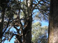 "Mountain Ash ""Black Beard"" - largest volume in mainland Australia : Eucalyptus regnans"