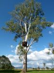 "Gum - Forest Red ""Burl Tree"" : Eucalyptus tereticornis"