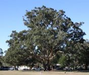 Blackbutt : Eucalyptus pilularis