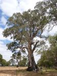 "Gum - River Red ""Dwyer Creek Tree"" : Eucalyptus camaldulensis"