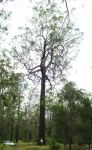 Ironbark - Northern Grey  : Eucalyptus siderophloia