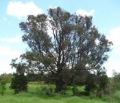 Wattle - Black  : Acacia concurrens