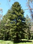 Redwood : Sequoia sempervirens