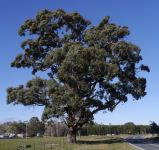 Box - Apple : Eucalyptus bridgesiana