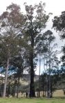 Ironbark - Narrow-leaved Red : Eucalyptus crebra