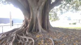 Fig - Moreton Bay : Ficus macrophylla