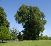 Elm - English : Ulmus procera