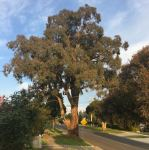 Peppermint - Narrow-leaved Black : Eucalyptus nicholli