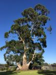 "Gum - Mountain Grey ""Settlement Giant"" : Eucalyptus cypellocarpa"