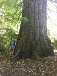 Redwood - Giant : Sequoiadendron giganteum