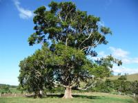 Queensland Maple : Flindersia brayleyana