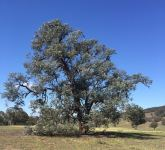 Apple - Argyle : Eucalyptus cinerea