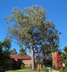 Bloodwood - Yellow : Corymbia eximia