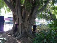 Fig - Weeping : Ficus benjamina