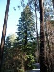 Redwood - Coast : Sequoia sempervirens