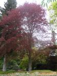 Beech - Copper : Fagus sylvatica