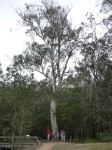 Gum - Mountain Grey,  Monkey : Eucalyptus cypellocarpa