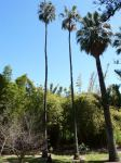 Palm - Mexican Fan : Washingtonia robusta