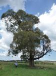 Peppermint - Narrow-leaved : Eucalyptus radiata subsp. sejuncta