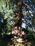 Redwood - Giant Sequoia : Sequoiadendron giganteum