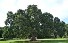 Fig - Council : Ficus altissima