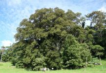 "Fig - Moreton Bay  ""Big Mother"" : Ficus macrophylla"
