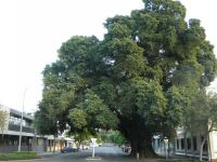 Fig - White : Ficus virens