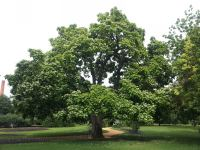 Indian Bean : Catalpa bignonioides