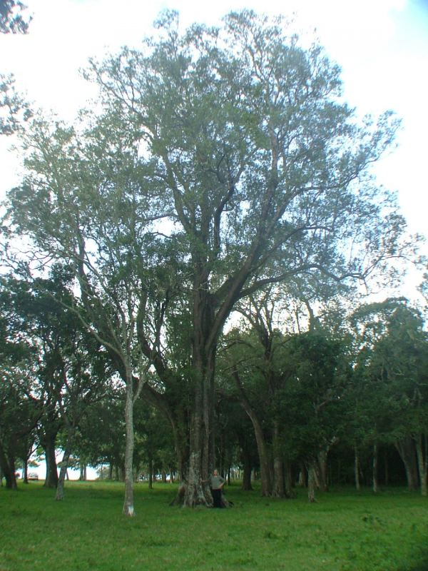 Tree Register National Register Of Big Trees
