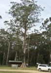 Brown Barrel : Eucalyptus fastigata